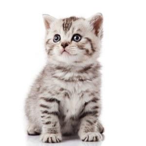 גור לחתולים