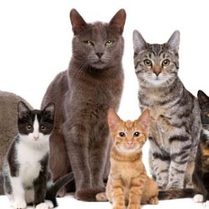 all stages, pregnancy מעוקר מסורס לחתולים